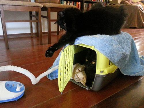 gato fazendo nebulização, nebulização em gatos, retrospectiva ila fox